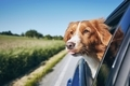 Dog enjoying from traveling by car - PhotoDune Item for Sale