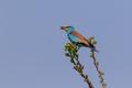 European Roller (Coracias garrulus) on a tree - PhotoDune Item for Sale