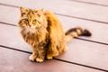 Norwegian cat - PhotoDune Item for Sale