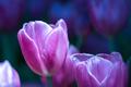 Purple tulips in the garden-11 - PhotoDune Item for Sale