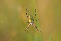 Wasp spider sitting on a spider web - PhotoDune Item for Sale