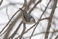 Nuthatch in a winter tree - PhotoDune Item for Sale