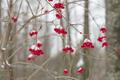 Fresh Snow on Red Berries - PhotoDune Item for Sale