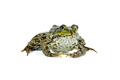 Common green frog isolated on white background - PhotoDune Item for Sale