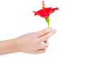 Hand hold fresh red hibiscus flower isolated on white background - PhotoDune Item for Sale