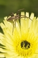 Dandelion flower close up with spider - PhotoDune Item for Sale
