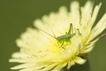 Dandelion flower close up with grasshopper - PhotoDune Item for Sale