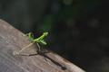 green european mantis on old wooden board - PhotoDune Item for Sale