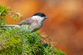 Marsh tit, perching on a twig - PhotoDune Item for Sale