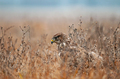 Common buzzard, hiding in a grass and waiting for mouse - PhotoDune Item for Sale