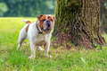 Young english bulldog, standing in a grass and looking into the distance - PhotoDune Item for Sale