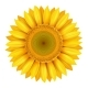 Realistic Bright Yellow Sunflower - GraphicRiver Item for Sale