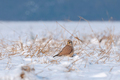 Common kestrel standing in snow and searching for food - PhotoDune Item for Sale