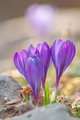 Spring crocuses, growing in a garden - PhotoDune Item for Sale