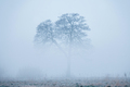 Alone tree, rising from a fog in early foggy winter morning - PhotoDune Item for Sale