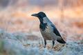 Hooded crow (Corvus cornix) , standing in a field - PhotoDune Item for Sale