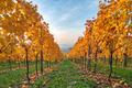 Beautiful yellow coloured leaves in autumn vineyard - PhotoDune Item for Sale
