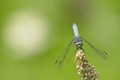 Blue dragonfly on pond plant spike - PhotoDune Item for Sale