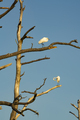 Great White Heron Birds Groom Themselves in Barren Tree - PhotoDune Item for Sale