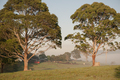 Two Gumtrees - PhotoDune Item for Sale