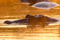 Nose, eyes and ears of hippopotamus, above water at sunrise - PhotoDune Item for Sale