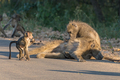 A chacma baboon grooming another baboon - PhotoDune Item for Sale