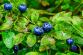 Ripe blueberry berries and water drops - PhotoDune Item for Sale