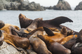 Rookery Steller sea lions. Fauna of Kamchatka Peninsula - PhotoDune Item for Sale
