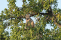 Chacma baboon, Papio ursinus, eating fruit in a tree - PhotoDune Item for Sale