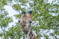 South African Giraffe browsing on a tree - PhotoDune Item for Sale