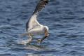 seagull eating fish - PhotoDune Item for Sale