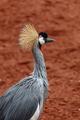 Beautiful grey crowned Common crane (Grus Grus) - PhotoDune Item for Sale