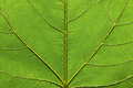 Texture of green fig leaf close-up - PhotoDune Item for Sale