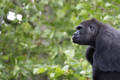 Gorilla, a portrait - PhotoDune Item for Sale
