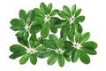 Leaves of Umbrella Plant - PhotoDune Item for Sale
