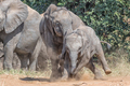 Older African Elephant calf bullying its younger sibling - PhotoDune Item for Sale
