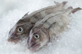 Fresh raw whole haddock fish - PhotoDune Item for Sale