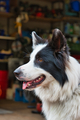 Portrait of cute white black dog - PhotoDune Item for Sale