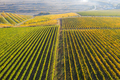 Rows in a vineyard, natural pattern above from a drone. Aerial view - PhotoDune Item for Sale