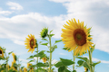 Sunflower with blue sky in winter - PhotoDune Item for Sale