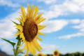 Sunflower in garden with sky - PhotoDune Item for Sale