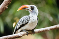 Yellow billed hornbill sitting on tree - PhotoDune Item for Sale