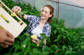 Woman working in a tomato greenhouse - PhotoDune Item for Sale