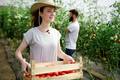 Young smiling agriculture woman worker working, harvesting tomatoes in greenhouse - PhotoDune Item for Sale