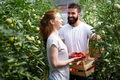 Two people collect pick up the harvest of tomato in greenhouse - PhotoDune Item for Sale