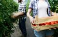 Friendly team harvesting fresh vegetables from the greenhouse garden - PhotoDune Item for Sale
