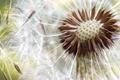 Dandelion seeds close up - PhotoDune Item for Sale