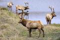 Bull elks - PhotoDune Item for Sale