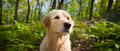Golden Retriever portrait in summer in the forest - PhotoDune Item for Sale