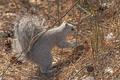 Delmarva Squirrel in the Forest - PhotoDune Item for Sale